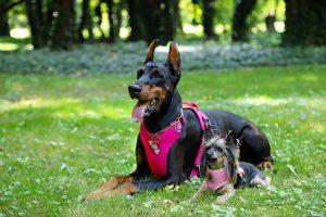 harnais de sécurité chien