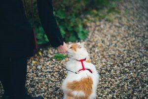 harnais pour chats